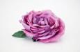 """Английская роза """"меланж"""". Фото 2."""