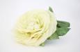 """""""Английская роза лимонная"""". Фото 2."""